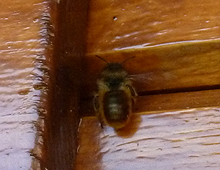 Bees Nest in Log Cabin
